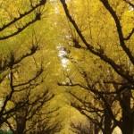明治神宮外苑のイチョウ並木