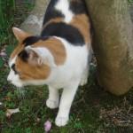 蛇崩川緑道の猫