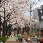 北沢川緑道の桜~住宅街を抜ける小川のせせらぎと草花と桜並木
