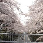 世田谷通り沿い桜のトンネル~世田谷百景「大蔵団地と桜」
