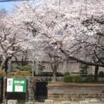 弦巻公園の桜