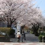 用賀いらか道(用賀プロムナード)と西用賀通りの桜並木