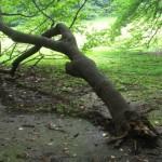 折れても根を張る枝