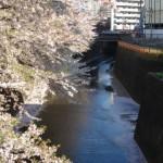 ブロガーは何故、目黒川の桜に魅せられるのか