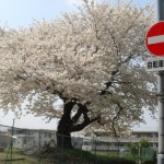 一人咲きの桜