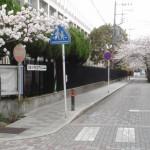 かつての鎌倉幕府の中心「大蔵御所址の桜並木」