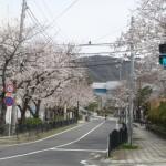 葉山町の桜の名所「葉山町役場周辺の桜並木」