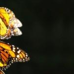 自ら薬物治療する蝶オオカバマダラについてのTEDスピーチ